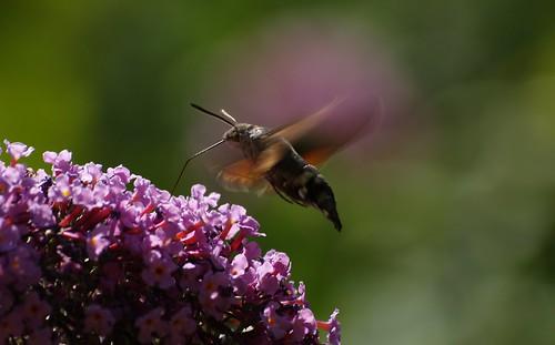 Hummingbird Hawk Moth in the Pyrenees