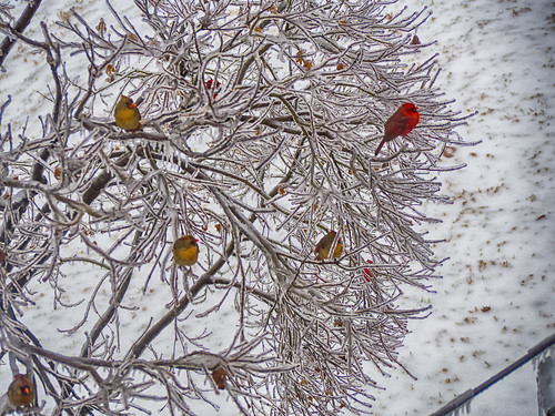 ice storm bird gallery