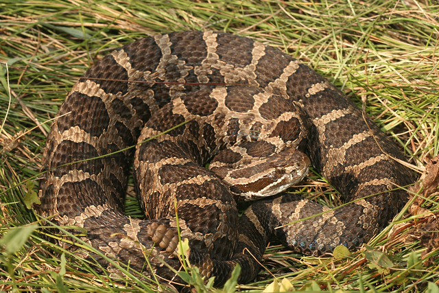 Pictures Of Michigan Snakes