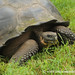 Giant Tortoise on Santa Cruz Island - Galapagos