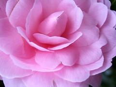 garden roses, rosa 㗠centifolia, floribunda, flower, camellia japonica, theaceae, pink, petal,