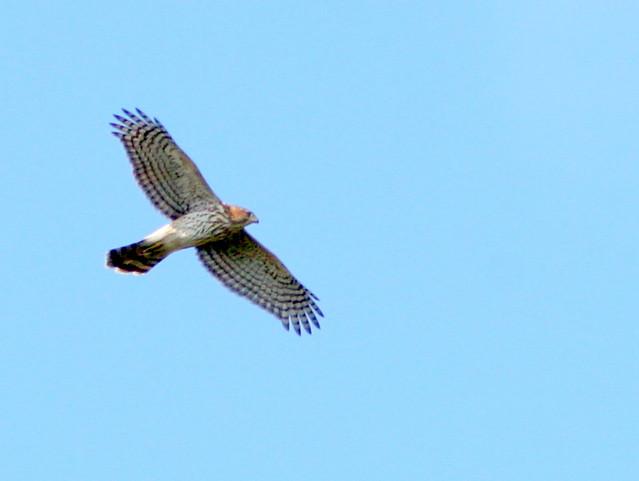 Coopers Hawk 20090917