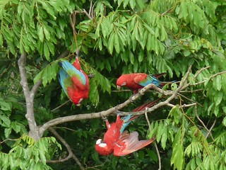 Red and Green Macaws squabbling Blanquillo clay lick 1009