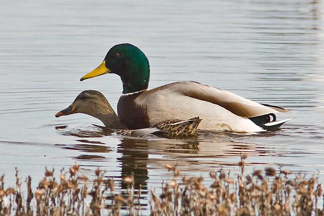 Duck Sex 67