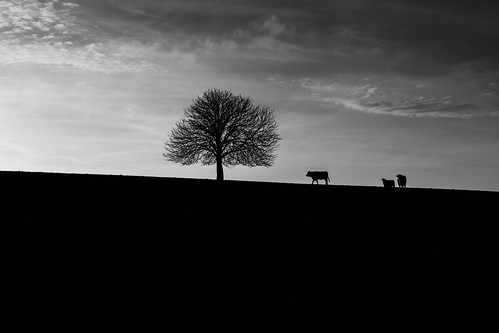 grass landscape art nature exploration moody cow sunset explore light agriculture countryside bw country wildlife uncropped trees forest sky overcast black farm mud outdoors mono dark essington england unitedkingdom gb