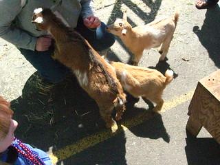 3 goats + 2 girls
