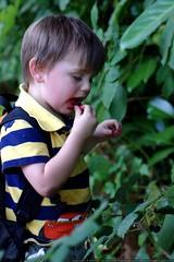 break to pick and eat blackberries    MG 0644