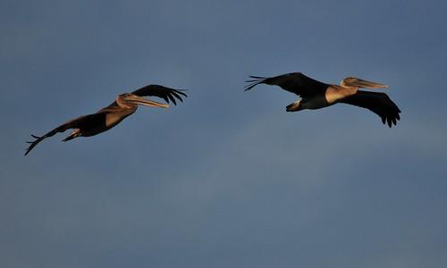 gulfofmexico coast texas gulf corpuschristi birding pelican porta juvenile birdwatching brownpelican portaransas seabirds oceanbird pelecanusoccidentalis fisheatingbirds costalbend mygearandmepremium