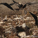 Bad Frigate Birds - Galapagos Islands