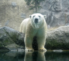 animal(1.0), zoo(1.0), polar bear(1.0), polar bear(1.0), mammal(1.0), fauna(1.0), bear(1.0),