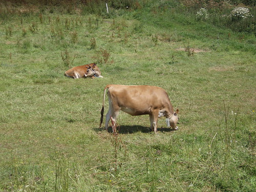 Jersey Cows in a field