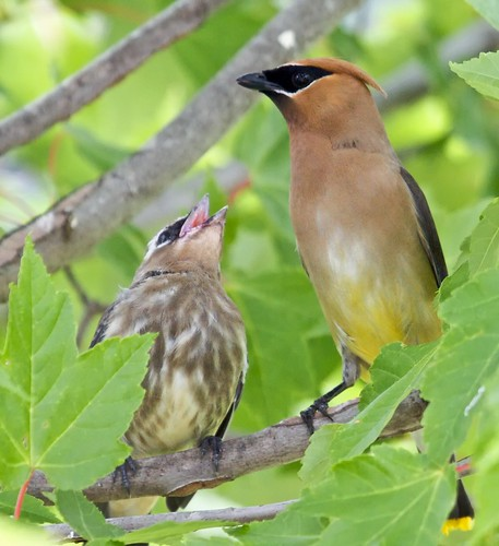 Cedar Waxwing Feeding It's Young