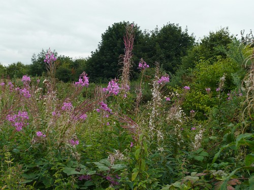 Willow Herb