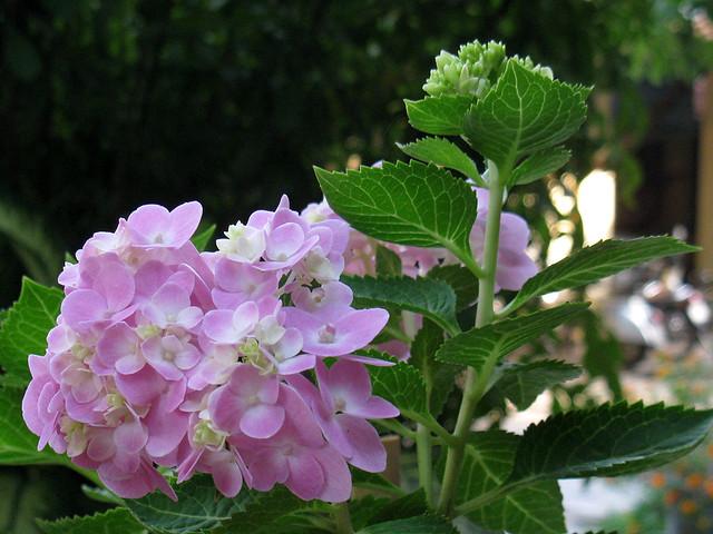 Hoa mau hong   Flickr - Photo Sharing!
