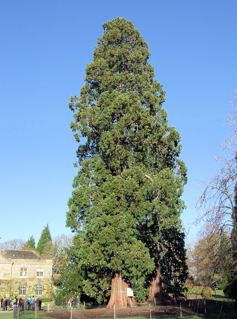 The Largest Christmas Tree In Britain Wakehurst Place We