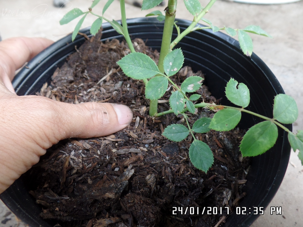 1 tay giữ nhẹ cố định bầu cây hoa hồng không bi lung lay hoặc nghiêng ngã. Tay còn lại cho thêm giá thể trồng vào phần còn lại của chậu