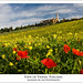 Poppies field at Pienza