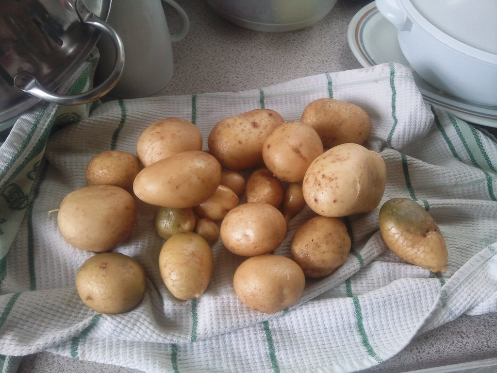 2nd Potato Harvest