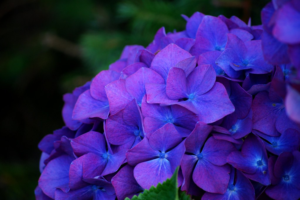 Purple Hydrangea by Russell Tomlin