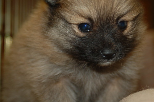 pomeranian mix puppies!
