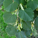 Small photo of Tilia americana - American Basswood leaves