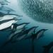 The sardine run #35 by pats0n