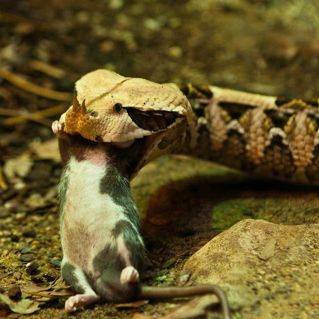 Snake eats mouse! | Flickr - Photo Sharing! - photo#7