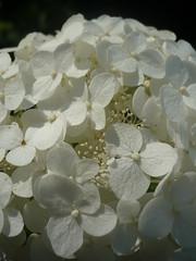 blossom(0.0), leaf(0.0), lilac(0.0), flower(1.0), white(1.0), hydrangea serrata(1.0), macro photography(1.0), flora(1.0), close-up(1.0), petal(1.0),