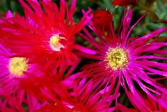 blossom(0.0), plant(0.0), dorotheanthus bellidiformis(1.0), annual plant(1.0), flower(1.0), macro photography(1.0), flora(1.0), close-up(1.0), ice plant(1.0), pink(1.0), petal(1.0),