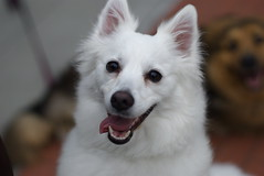 dog breed, animal, puppy, dog, japanese spitz, pet, norwegian buhund, volpino italiano, german spitz, white shepherd, canadian eskimo dog, berger blanc suisse, kishu, carnivoran, american eskimo dog,