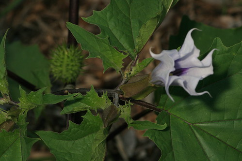 Datura stramonium, early evening NNI
