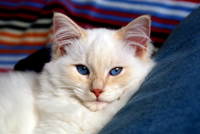 Minhau, o gato