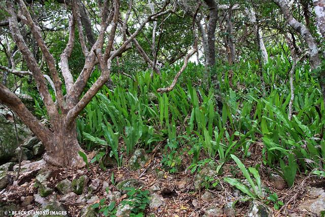 Microsorum punctatum - Climbing Birds Nest Fern
