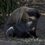 De Brazza's Guenon  Monkey