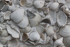 sea snail(0.0), pleurotus eryngii(0.0), oyster mushroom(0.0), stone carving(0.0), conch(0.0), animal(1.0), clam(1.0), molluscs(1.0), sand(1.0), seafood(1.0), seashell(1.0), cockle(1.0), clams, oysters, mussels and scallops(1.0),