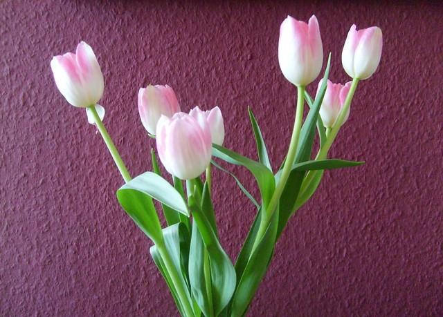 rosa tulpen vor lila wand flickr photo sharing. Black Bedroom Furniture Sets. Home Design Ideas