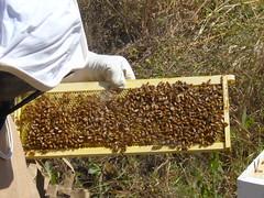 beekeeping #9