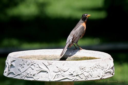 ohio lucascounty animals smallanimals birds robins may2009 may 2009 canon702004l