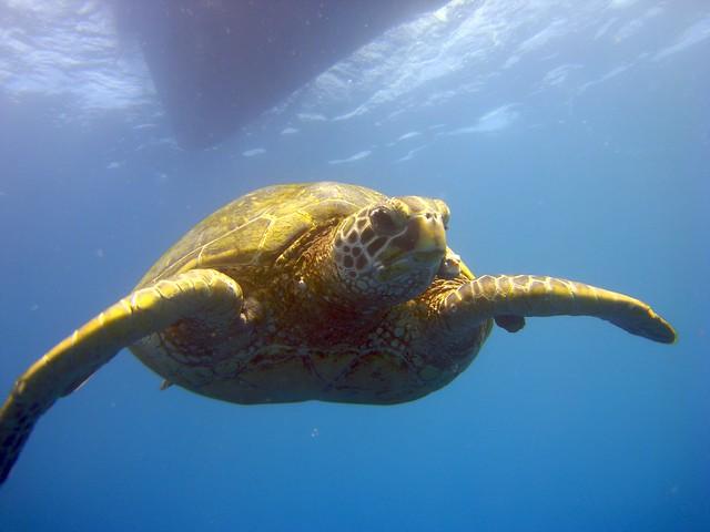 モロキニ島のダイビング写真ウミガメ