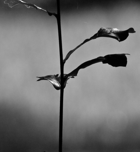 Leaves: a ballet in black and white