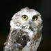 Northern Saw-Whet Owl by shila.wilson