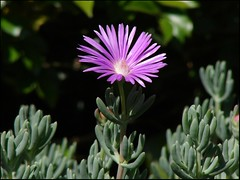 flower(1.0), plant(1.0), macro photography(1.0), wildflower(1.0), flora(1.0), ice plant(1.0), petal(1.0),