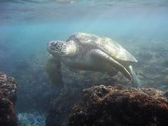 討海大不易,海洋環境惡化使得海龜生存危機四伏。(圖片來源:海洋國家管理處)