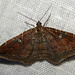 Gem Moth - Photo (c) kestrel360, some rights reserved (CC BY-NC-ND)