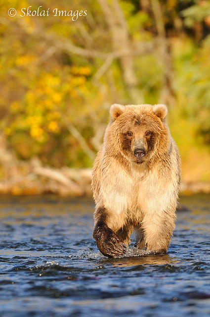Grizzly bear walking - photo#12