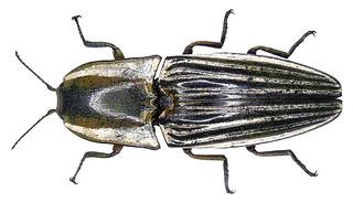 Chalcolepidius zonatus Eschscholtz, 1829