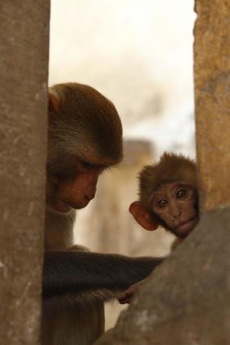 Familia de monos en Jaipur Galwar Bagh, el templo de los Monos de Jaipur - 4172560402 3932258a0b - Galwar Bagh, el templo de los Monos de Jaipur