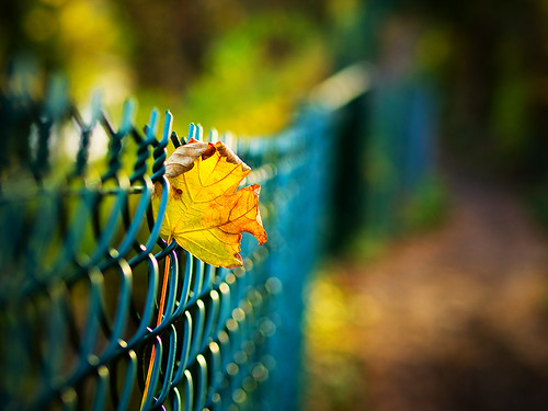 Stuck on a fence. Winter leaf. (2/13)