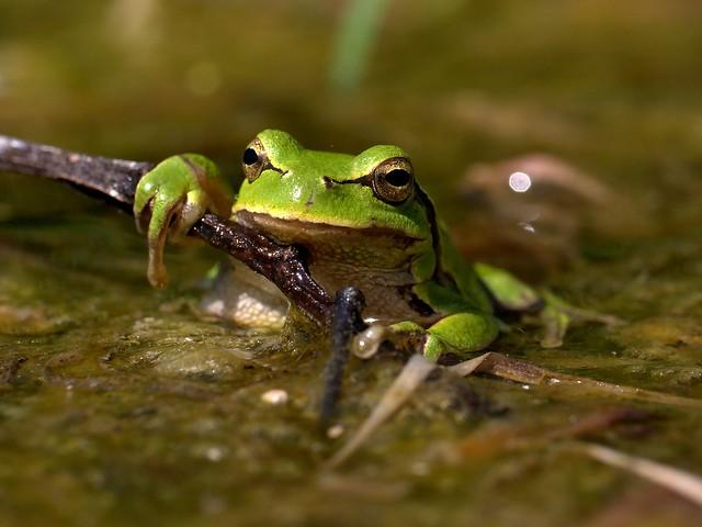 A relaxed European Tree Frog, Grądy-Woniecko, Poland