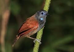 Timaliidae